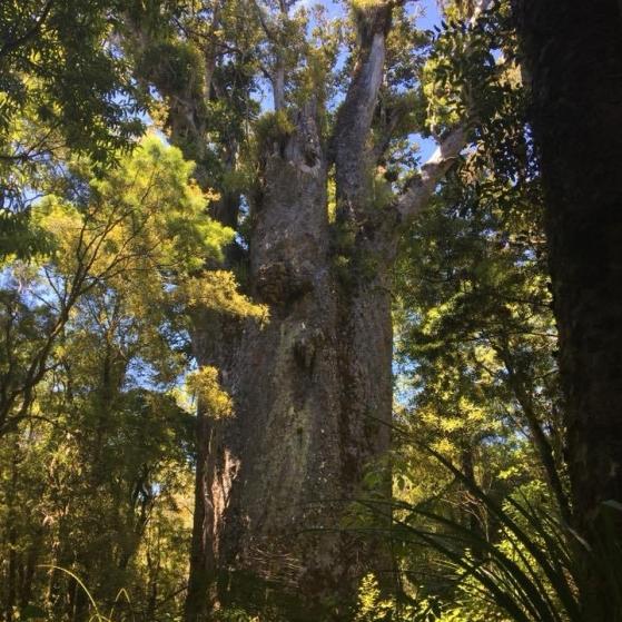 New Zealand Kauri Forest